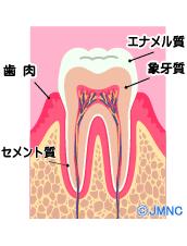 シロイハコラム_歯の構造エナメル質セメント質
